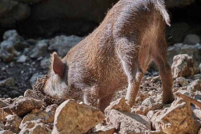 Aktien Analyse - Trüffelschwein